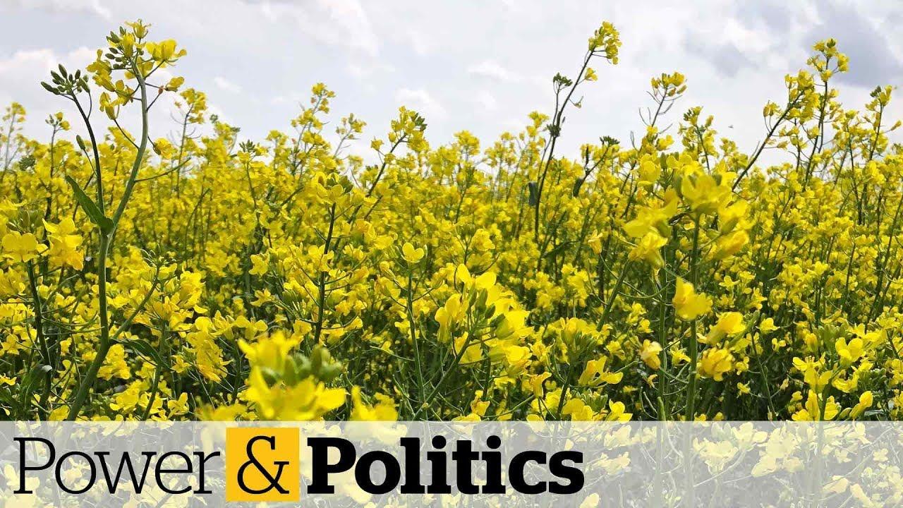 China cracks down on second Canadian canola company | Power & Politics