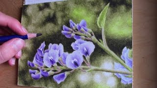 drawing a purple coral pea with Inktense pencils