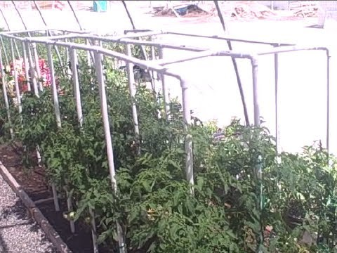 Low Cost PVC Pipe Tomato Cage & Gardening in Las Vegas Nevada