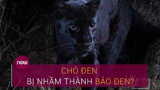 Vụ báo đen xuất hiện ở Đồng Nai: Chó đen bị nhầm thành báo đen? | VṪC Now