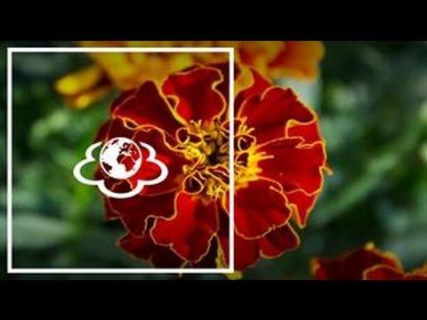 Наталя Земна - Чорнобривці - 'Щоденник здоров'я'