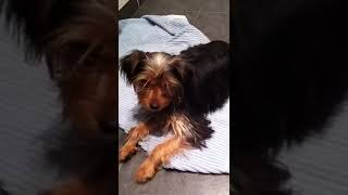 Silky Terrier. Our lovely Beau.'I want that coooookie' (training to wait)