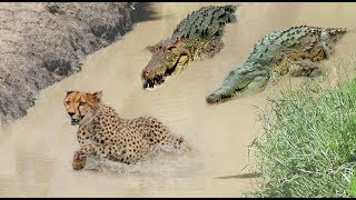 Power Of Lion, Crocodile, Cheetah - Buffalo rushes to save you but it's too late, vulture vs Hyena