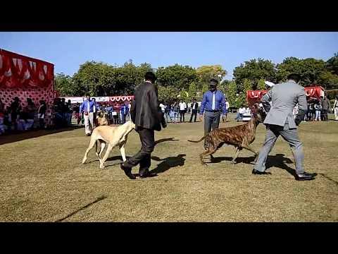 The Giant Great Dane in Delhi Dog Show 2018