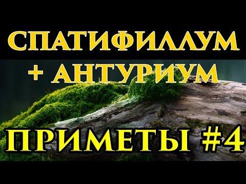 Антуриум и спатифиллум вместе - приметы 🍀 - Маг Fose
