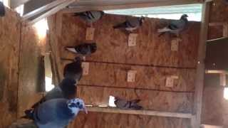 How to train your homing pigeon my way. 2014