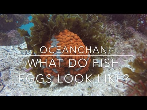 What do fish eggs look like? - Freediving at Bare Island, Sydney - Ocean Chan