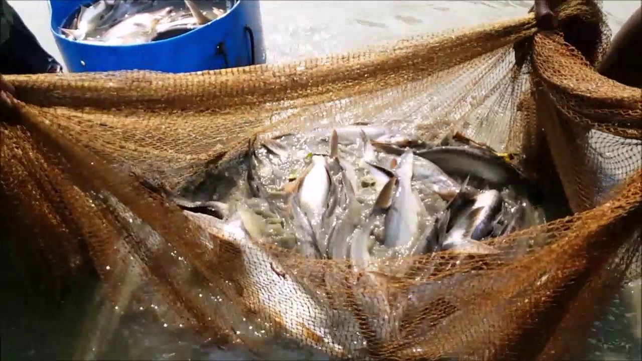 Incredible village fishing catch huge fish using very for Sjfc fish r net