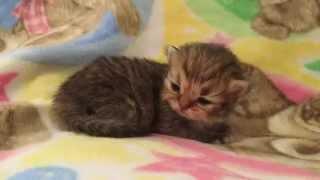 Sweet Baby Jesse  Golden Teacup Persian Kitten for Sale