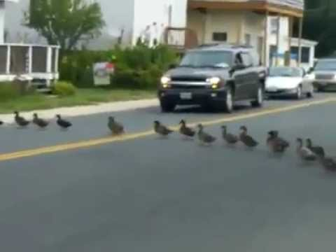Patos Cruzan La Calle (Fila Ordena)
