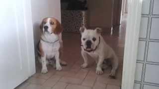 English Bulldog & Beagle Hunger Games