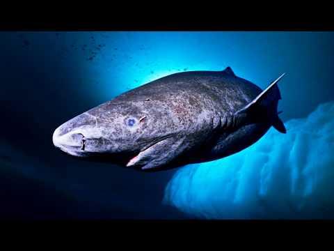 TOP 10 Tiburones Más Grandes Capturados