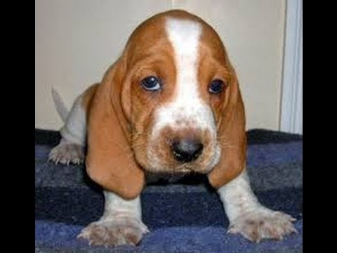 Basset Hounds For Sale In Virginia Beach