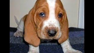 Basset Hound, Puppies For Sale, In, Hampton, Virginia, West, Va, Norfolk, Chesapeake, 19breeders