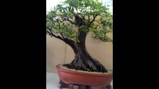 Bonsai Exhibit Competition at Ayala, Cebu