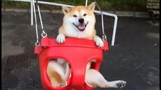 【癒し注意】おもわずほっこりしちゃう可愛い柴犬(shiba-inu)映像集【八...