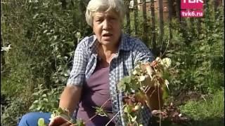 видео Ампельная клубника: миф и реальность