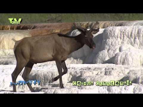 Wapiti in Yellowstone National Park - elk - cervus canadensis #02