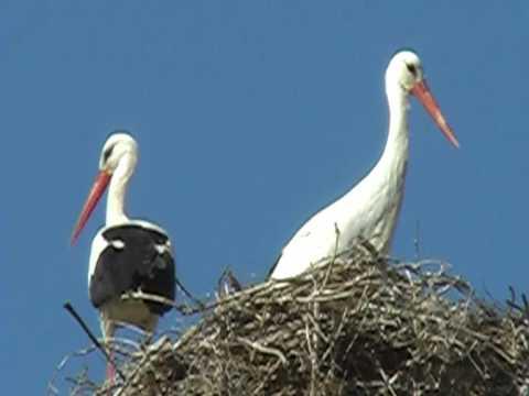 White storks near Enfida, Tunisia