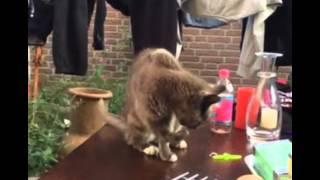 Невозмутимый кот сует лапу в стакан с водой