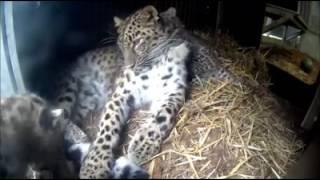 Котята из бельгийского зоопарка Бельвард!