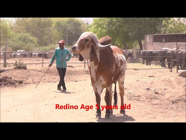 Best gir bull