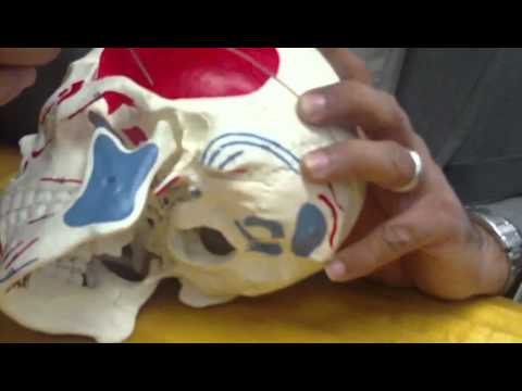 Human skull Anatomy Class