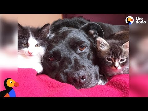 Pit Bull Who Misses Her Cat Falls In Love With Foster Kittens - ZUCA | The Dodo