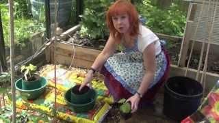 Green Shorts - How to Grow Cucumbers