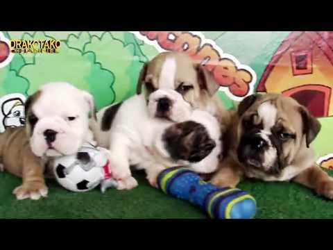 top-10-perros-mÁs-caros-del-mundo