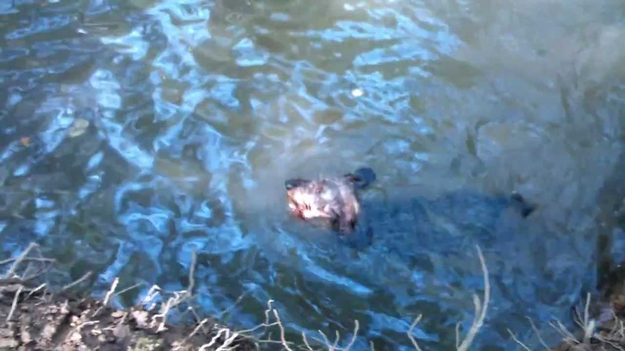 Watson, wire haired dachshund, swimming in a forest stream - YouTube