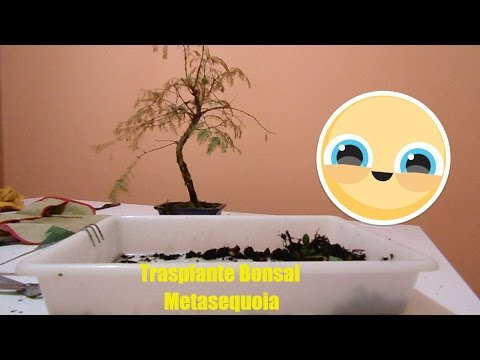 Trasplante Bonsai Metasequoia