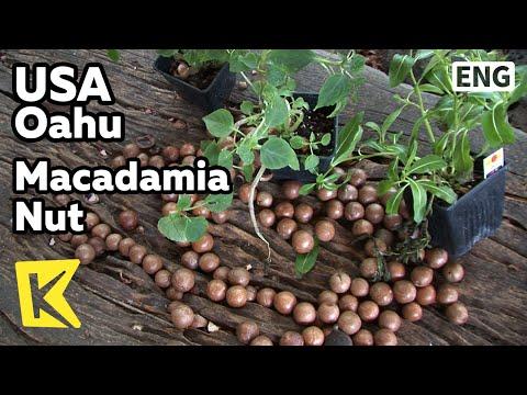 【k】usa-travel-oahu[미국-여행-오하우]하와이-대표-특산물,-마카다미아/macadamia-nut