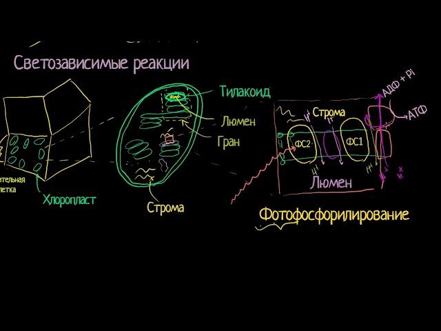 Светозависимая (световая) стадия фотосинтеза (видео 4)| Фотосинтез | Биология