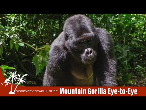 Eye to Eye with a Mountain Gorilla in Rwanda Africa
