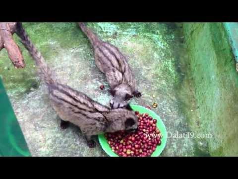 Uống cafe chồn ở trang trại 42 tỉ ở Đà Lạt