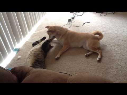 Shiba Inu kisses cat