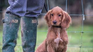 5 Interesting Facts about the BEAUTIFUL Working Cocker Spaniel!