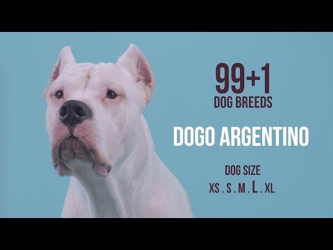 Dogo Argentino / 99+1 Dog Breeds