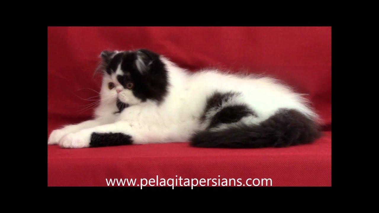 Black & White male Persian kitten