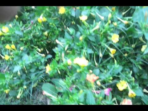 Four o'clock flower - annuals