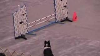 Pembroke Welsh Corgi And Shetland Sheepdog Doing Agility