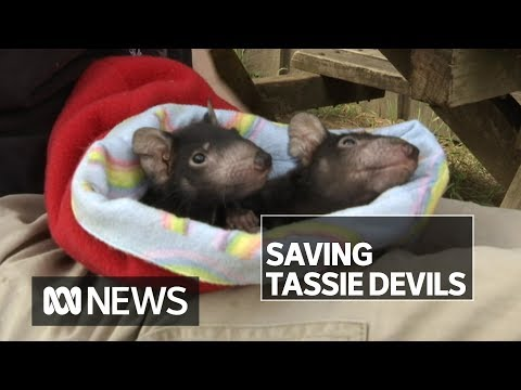 The uphill battle to save the Tasmanian Devil   ABC News