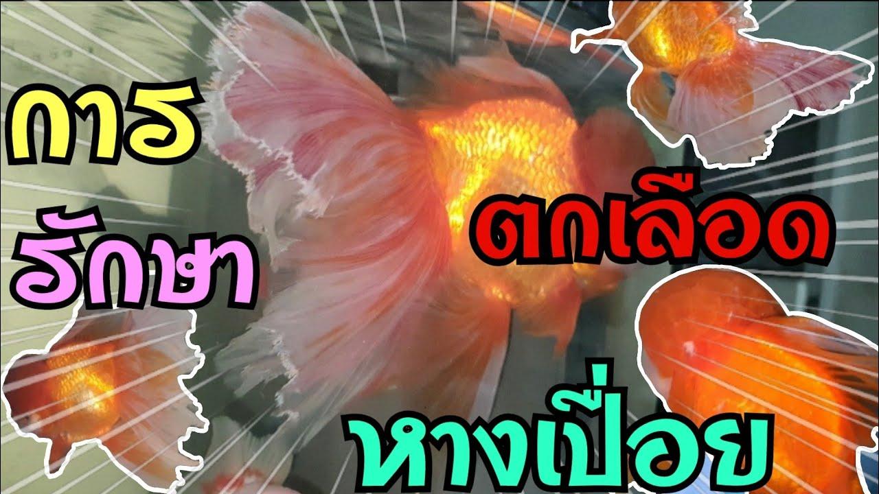 การรักษาปลา หางเปื่อย หัวเป็นเชื้อรา ( 4K )