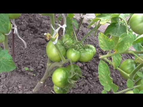 Безрассадным помидорам три месяца со дня посева