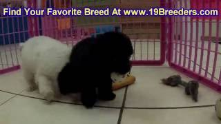 Toy Poodle, Puppies, For, Sale, In, Anchorage, Alaska,AK, Fairbanks, Juneau, Eagle River