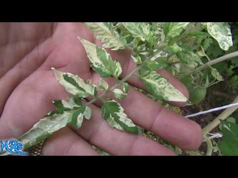⟹ Variegated leaf Tomato, Splash of Cream | Solanum lycopersicum | Tomato review 2018