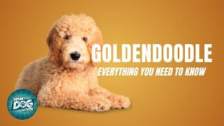 Goldendoodle Dog Breed Guide | Dogs 101  Goldendoodle Puppies to Adults