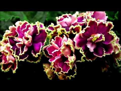 Домашние цветы -кливия, декабрист,фиалки