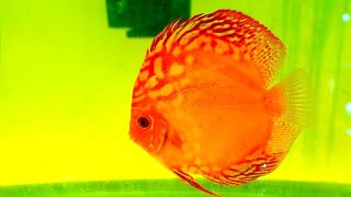 JACK WATTLEY DISCUS HATCHERY TOUR - Breeding Discus Fish and Wild Caught Discus